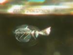 Pre-historic fish
